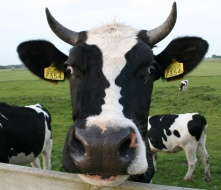 La mucca più artistica del mondo